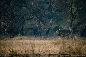 spotted deer chital wildlife photography