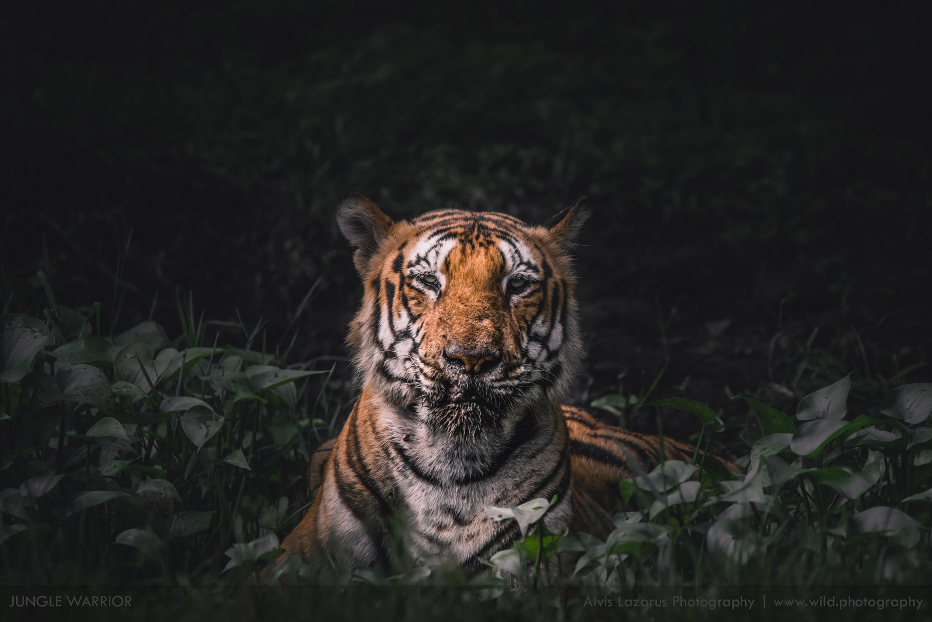 wildlife-photographer, wildlife photographer, wildlife photography, wild, wildlife, tiger picture, indian tiger, tiger safari, safari planner, safari agents, how to book travel to see tigers in india, wild photography, bangalore, mumbai, chennai, delhi, kabini, bandipur, bandhavgarh