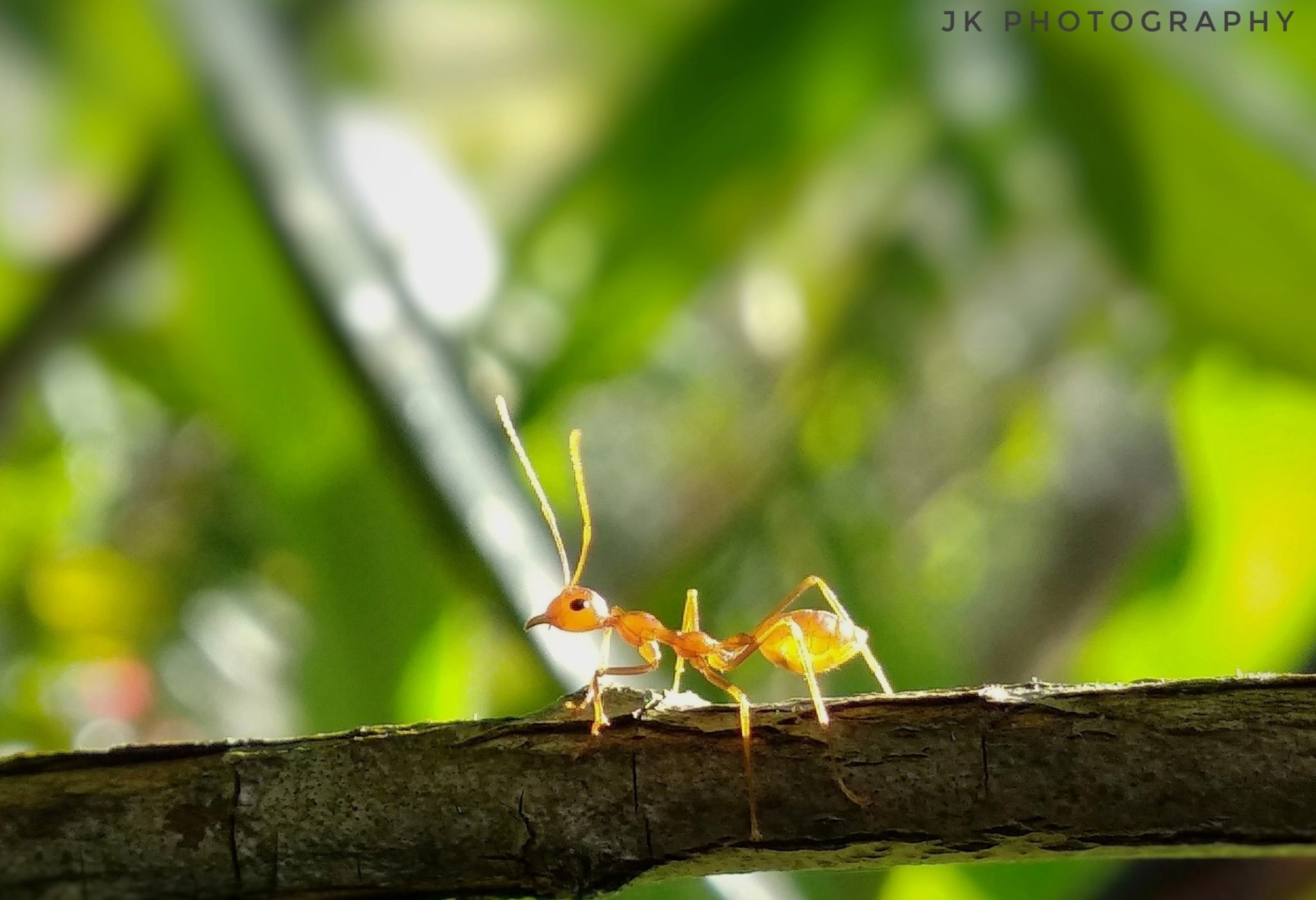 Weaver ants (Oecophylla) Shoot On Mi A1 Stock Camera It was a shining day and I noticed an interesting range of view that sunrays were passing through the body of an ant which was sitting in the sunshine on the branch of a tree and was passively enjoying the sunbath. The vision seems to be the x-ray of its body.