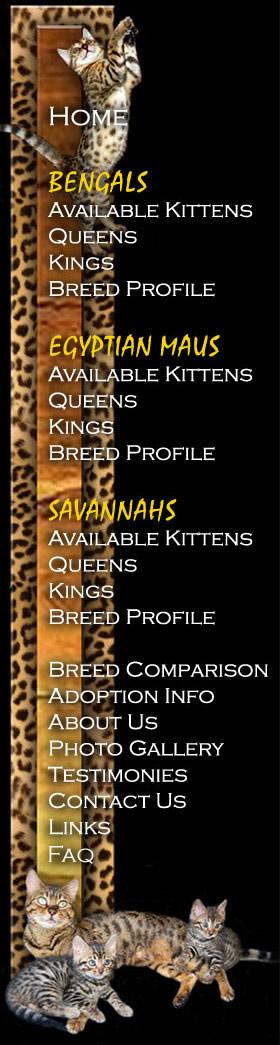 Bengal Cat Size Chart : bengal, chart, Bengal, Breed, Profile