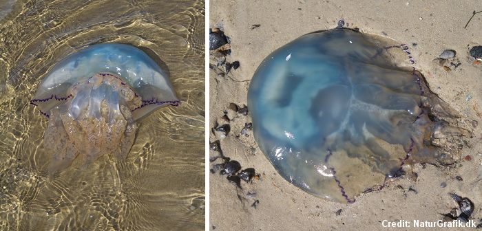 Jellyfish along the Danish shores - Wild About Denmark