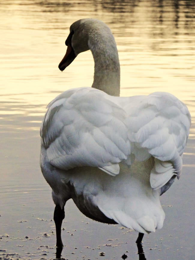 swan standing by pond