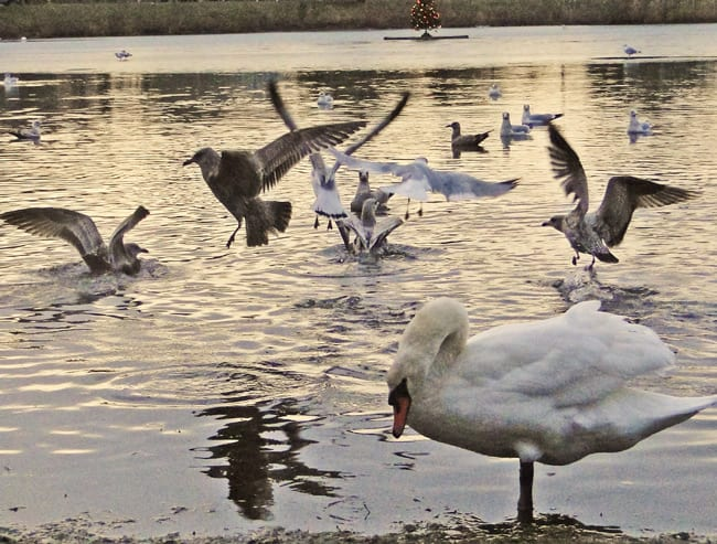 gulls flapping swans