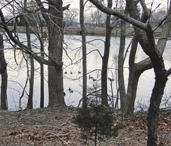 Sag Harbor pond ducks trees