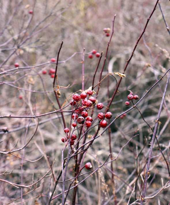 berries bush swamp