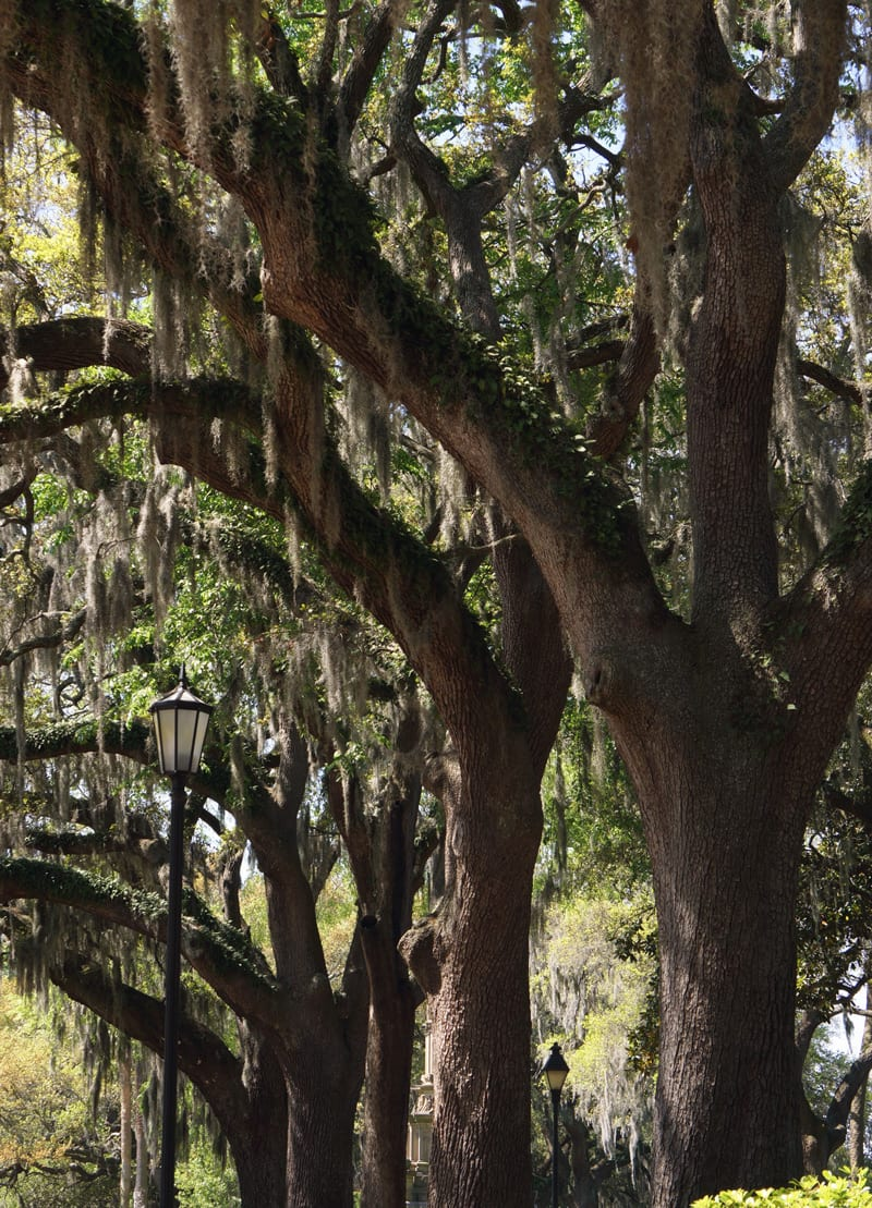 alleyway trees, forsyth park, savannah