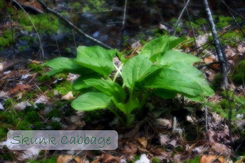 Nature Detectives skunk cabbage