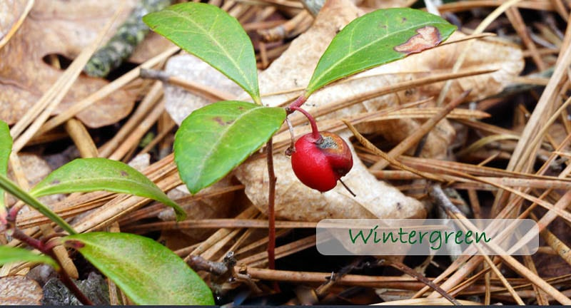 Nature Detectives wintergreen