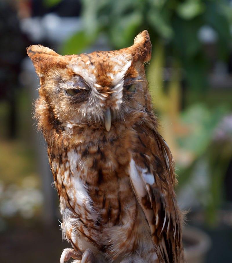 Eastern Screech Owl at Wildlife Rescue Center Hamptons