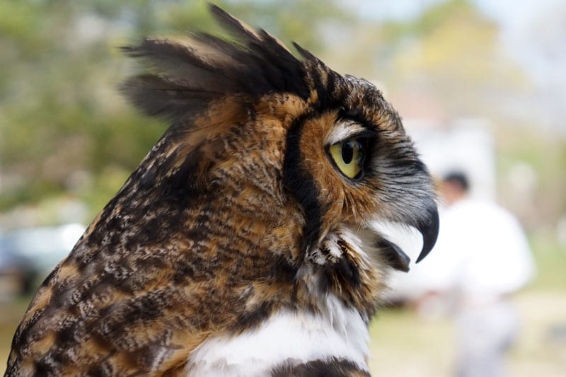 profile Great Horned Owl