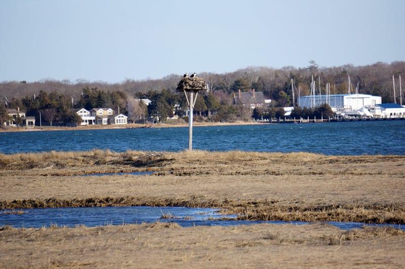 Ospreys in Sammy's Beach Reserve