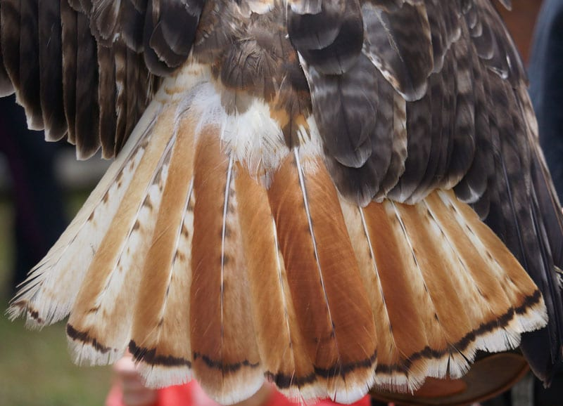 tail feathers Red Tailed Hawk