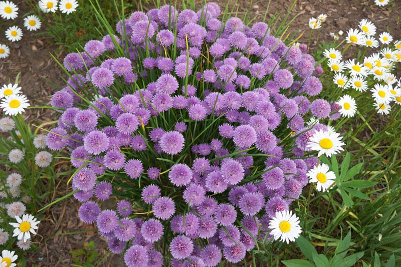 Flowering bush of chives