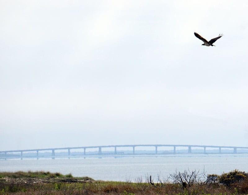 Osprey in sky over Shinnecock Bay