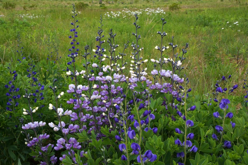 white and purple lupines