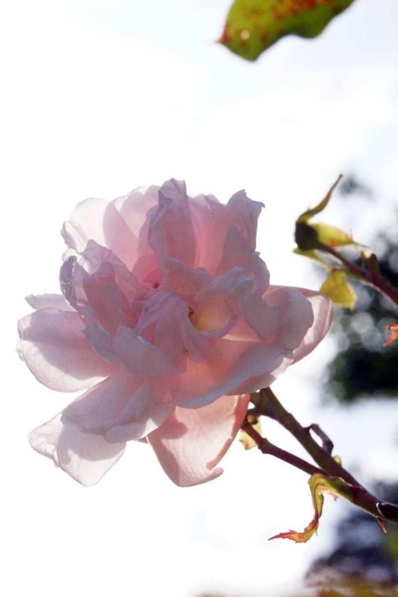 Sunlight through pink rose
