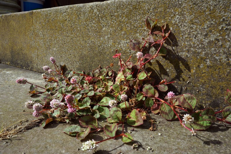 flowering plant stone step