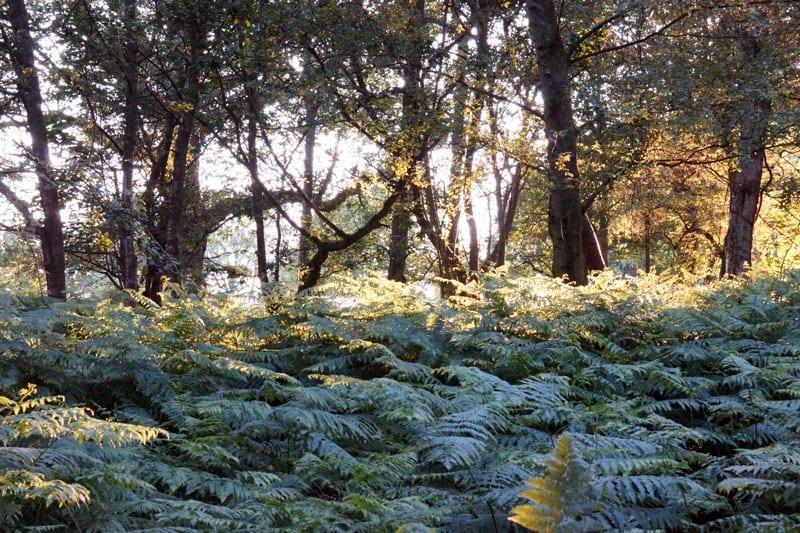 Ferns in woods