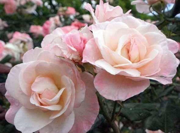 pink-roses-2-rad