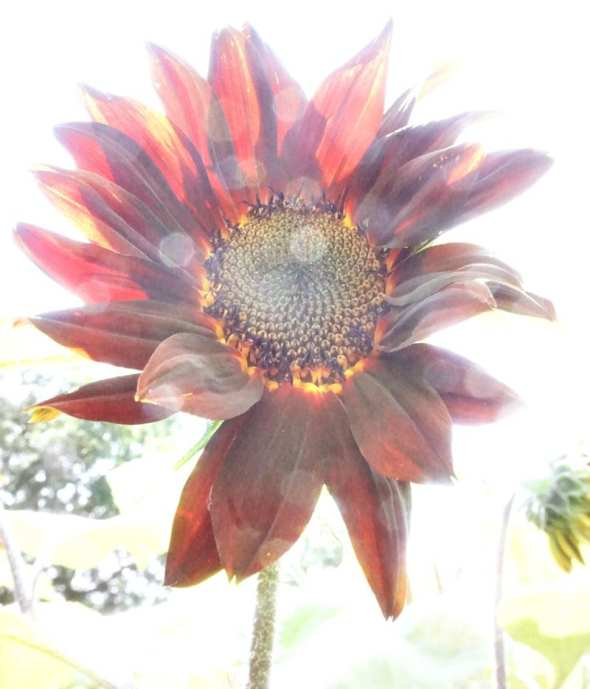 Red sunflower and sunlight