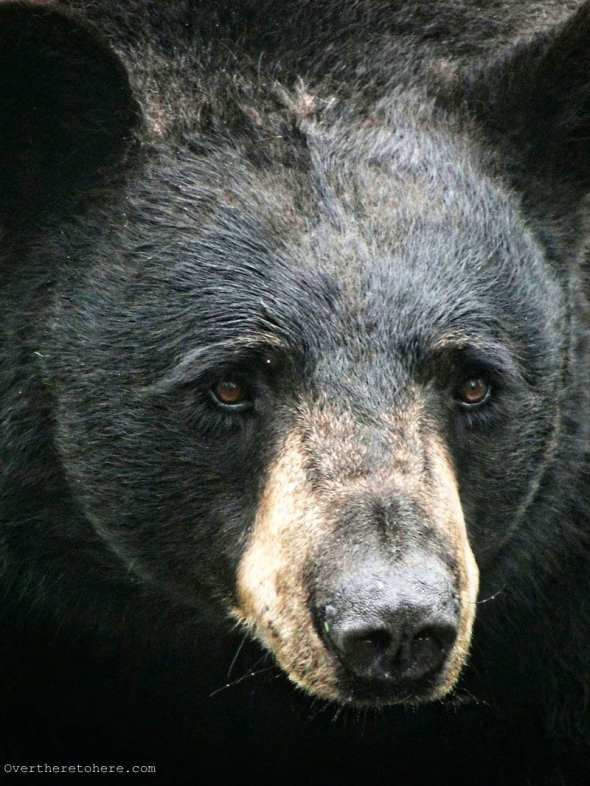 North Carolina Black Bear face