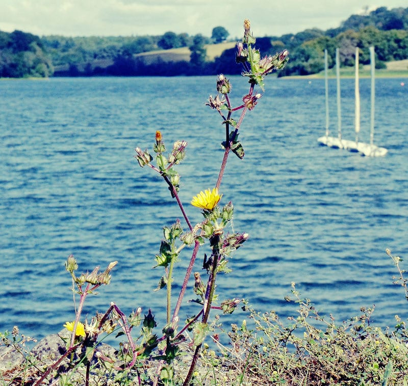 yellow-flowers-and-sailboats