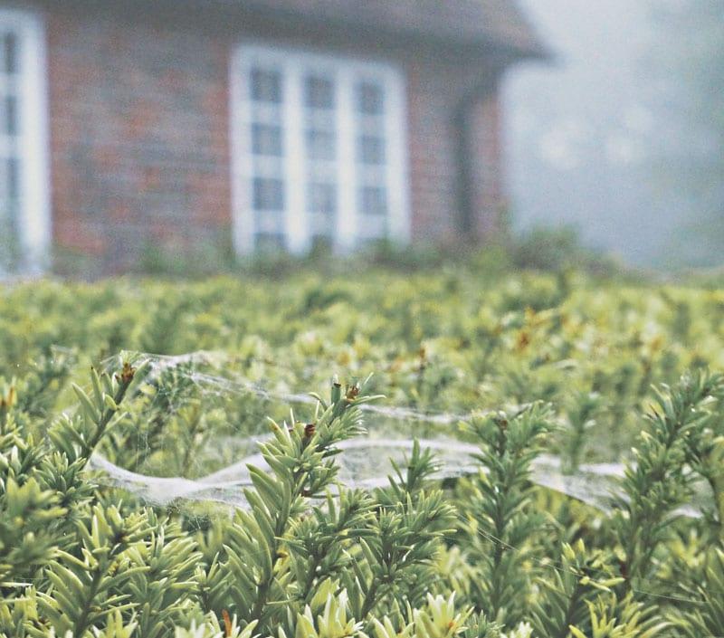 cobwebs hedge