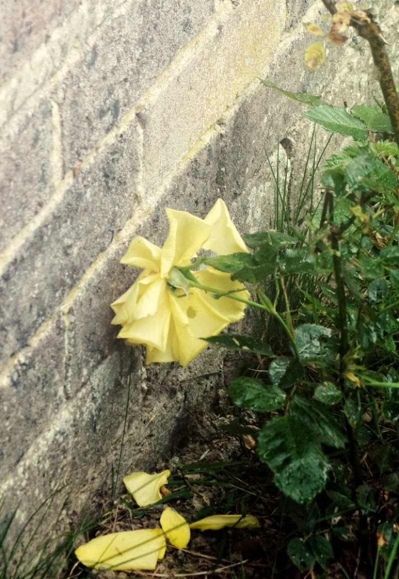 wilting yellow rose