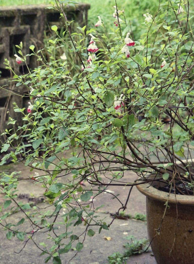 flower pot ornamental sage
