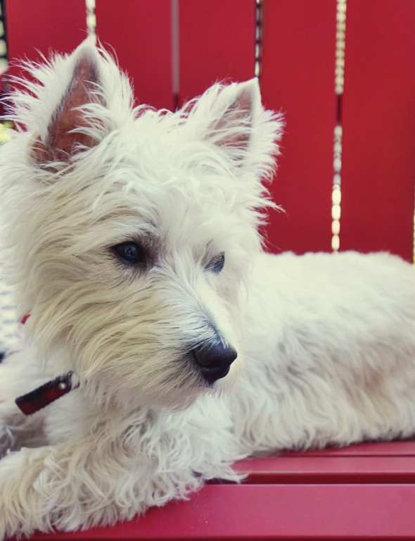 West Highland Terrier image new passport for pet rules 2014