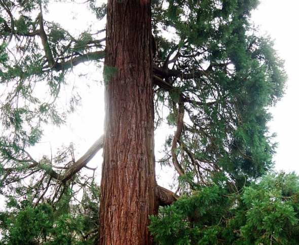 middle Redwood