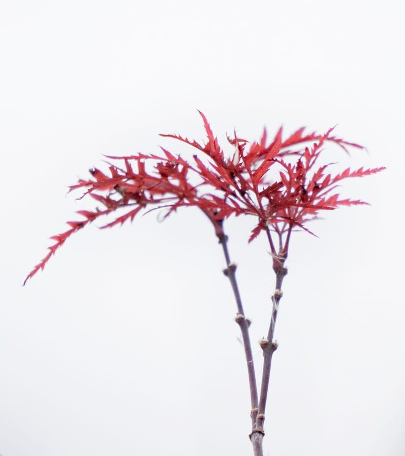 red leaves light