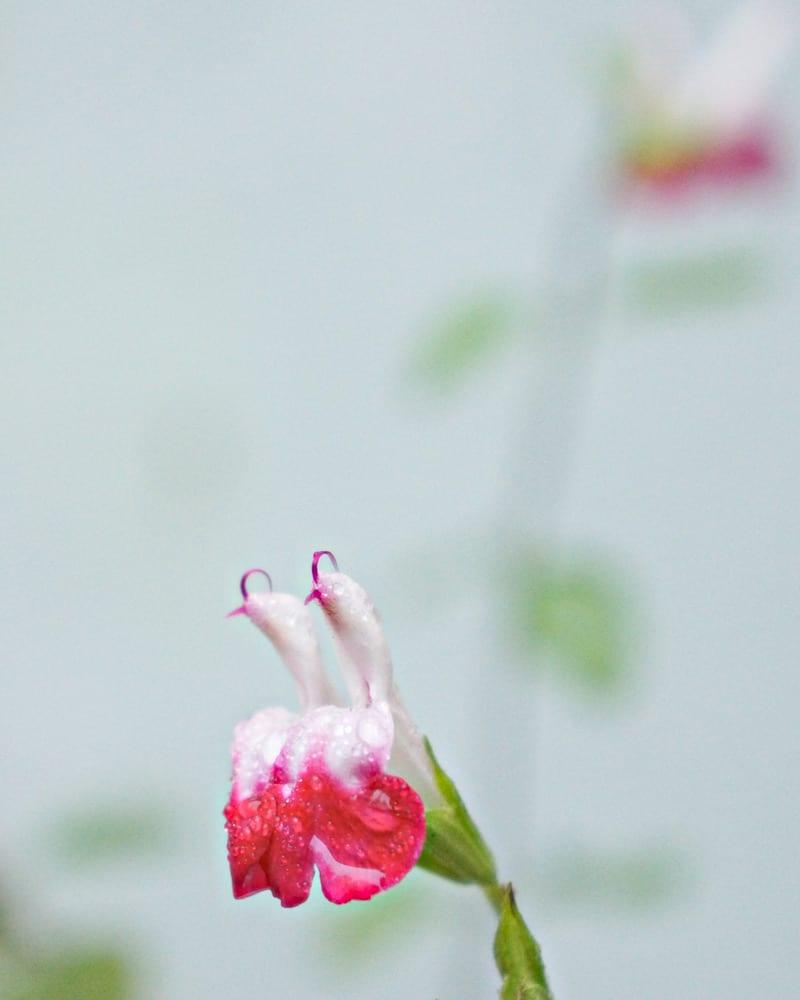 Salvia hot lips in winter