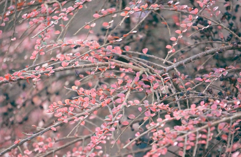 small red leaves shrub