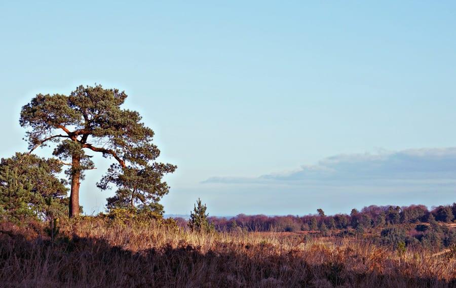lone pine Ashdown Forest Pooh walk