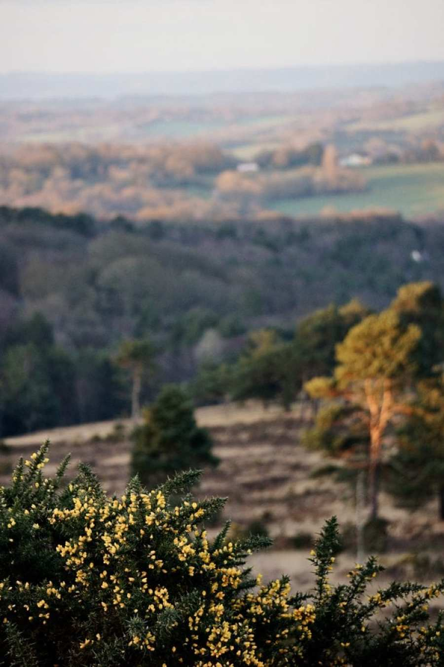 ashdown forest view plus gorse