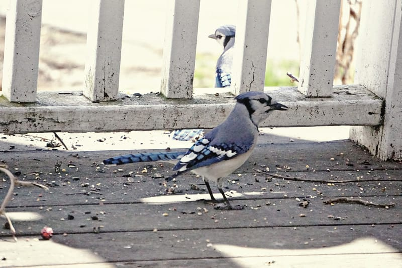 pair blue jays on back deck