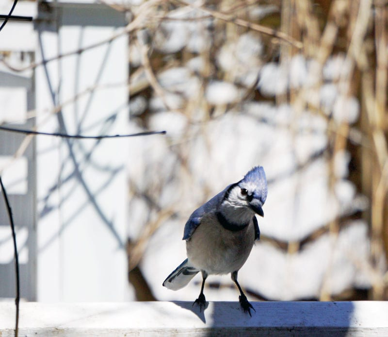 blue jay on rail
