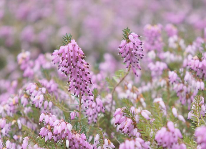 Heather - Erica carnea