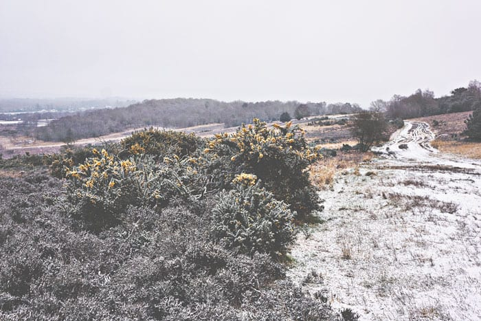 Gorse and snowy path Ashdown Forest