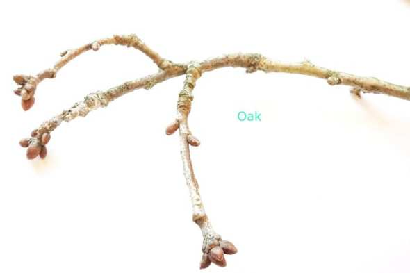 Oak tree twigs and buds in winter