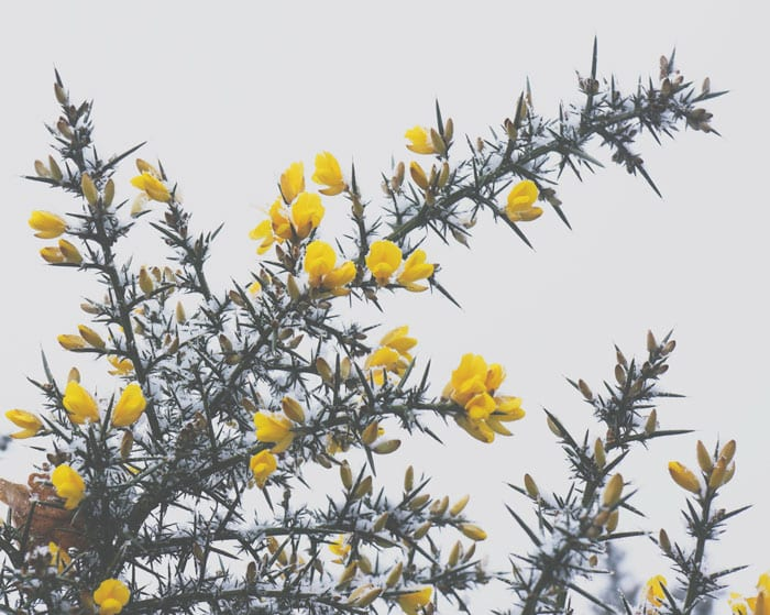 Snow covered gorse against the sky