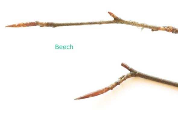 Beech twigs with buds winter id