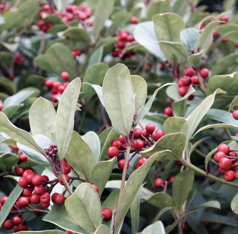 Red berries on a female Skimmia