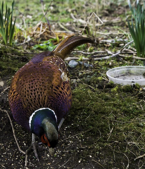 Fred the pheasant