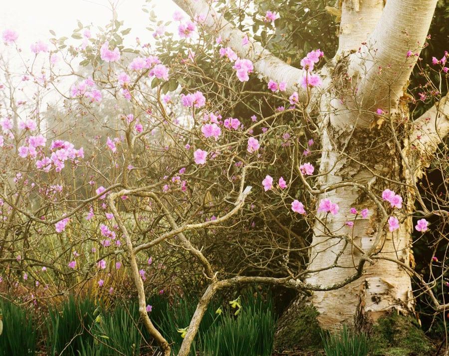 Rhododendron Mucronulatum and birch