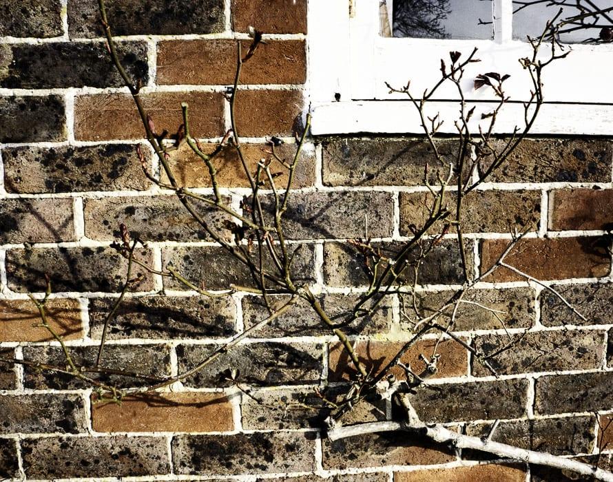 Rose bush in front window