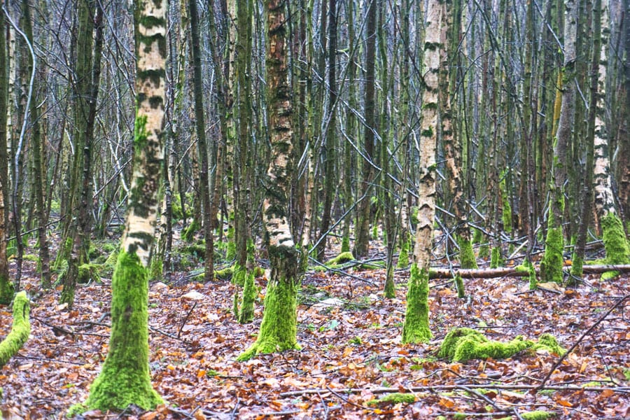 Birch trees in woods