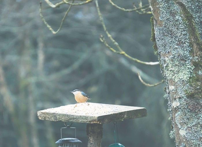 Nuthatch on bird feeder