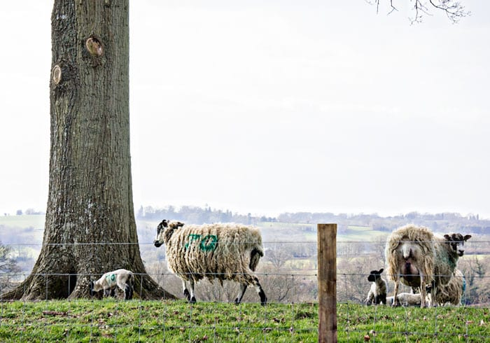 Sheep and lambs next to tree